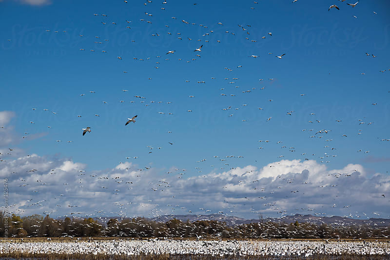 Blue sky filled with migratory birds (Snow Geese) by yuko hirao for Stocksy United