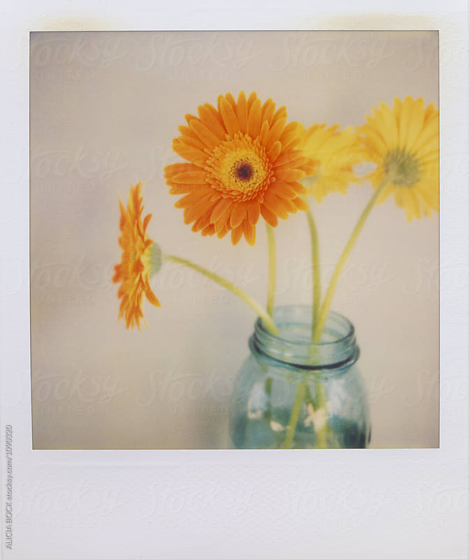 Orange And Yellow Gerber Daisies On Expired Polaroid Film by ALICIA BOCK for Stocksy United