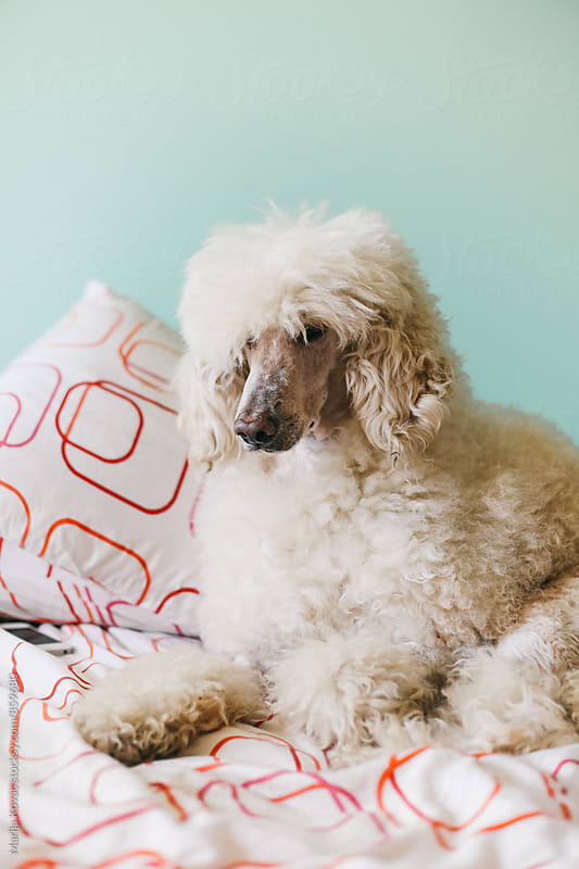 White royal poodle on the bed  by Marija Kovac for Stocksy United