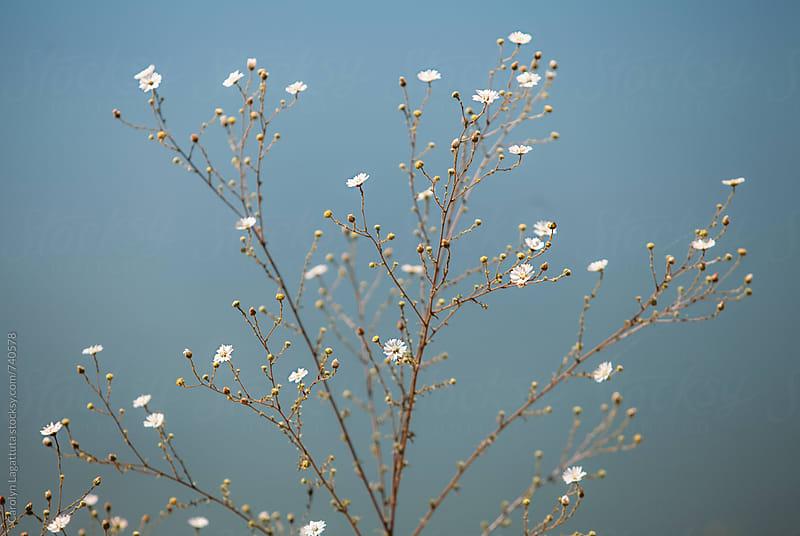 Daisy Fleabane flower against a blue water background by Carolyn Lagattuta for Stocksy United