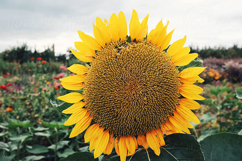 Beautiful wild sunflower on a field of green during the Autumn and Fall season by Greg Schmigel for Stocksy United