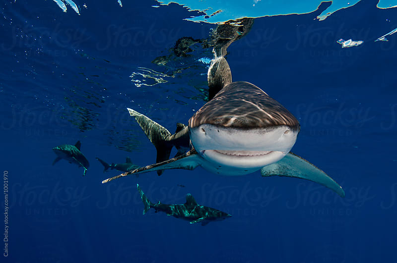 Oceanic white tip shark in blue water by Caine Delacy for Stocksy United