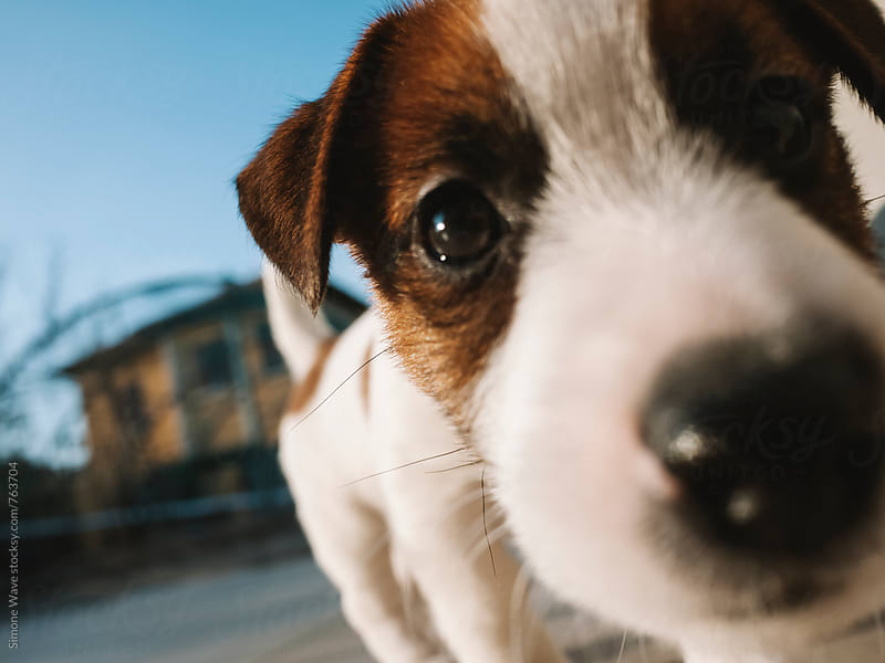 Cute Jack Russell puppy by Simone Becchetti for Stocksy United