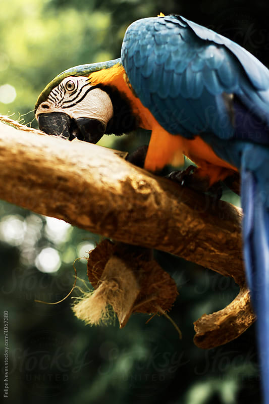 Blue and Yellow Macaw eating on a tree by Felipe Neves for Stocksy United