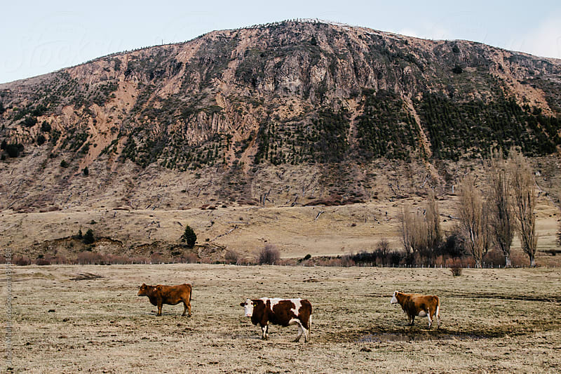 Three cows standing underneath hill in Patagonia Chile by Justin Mullet for Stocksy United