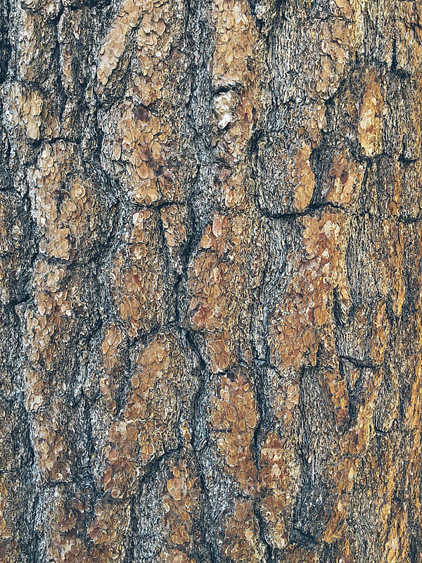 Close up of bark from old growth pine tree by Paul Edmondson for Stocksy United