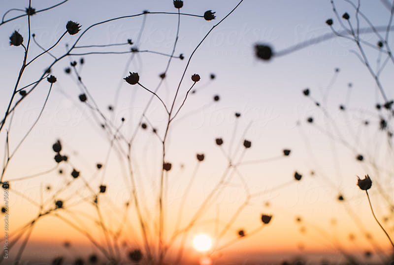 Plant silhouette at sunset. by Eva Plevier for Stocksy United