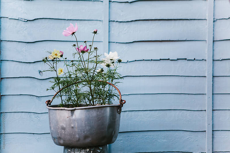 Pastel colored Cosmos flowers in a milk pail against a pastel blue background. by kkgas for Stocksy United