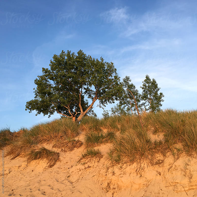 A Teenage Girl Walking To Climb A Tree High On A Sand Dune by ALICIA BOCK for Stocksy United
