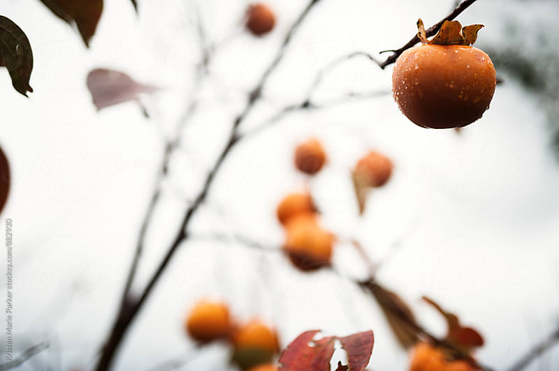 persimmon fruits hanging from tree covered in rain drops by Kristen Marie Parker for Stocksy United