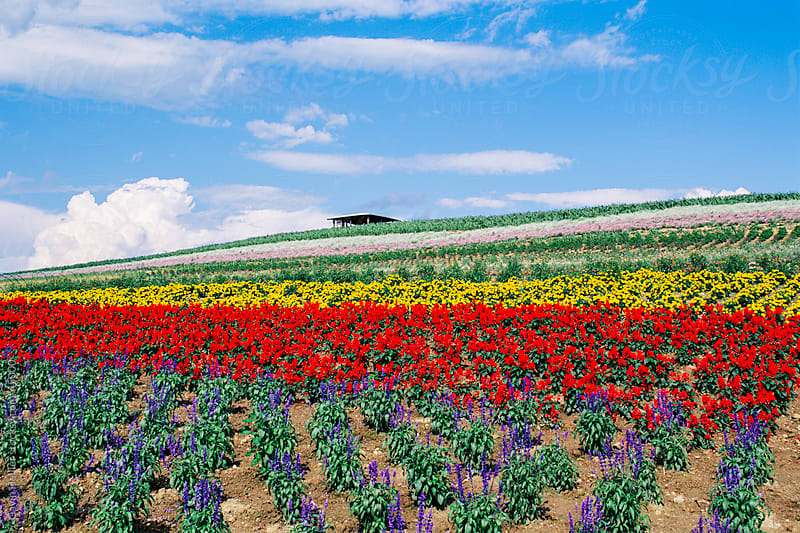 Japan, Hokkaido, cultivated flowers growing near Furano in Central Hokkaido by Gavin Hellier for Stocksy United