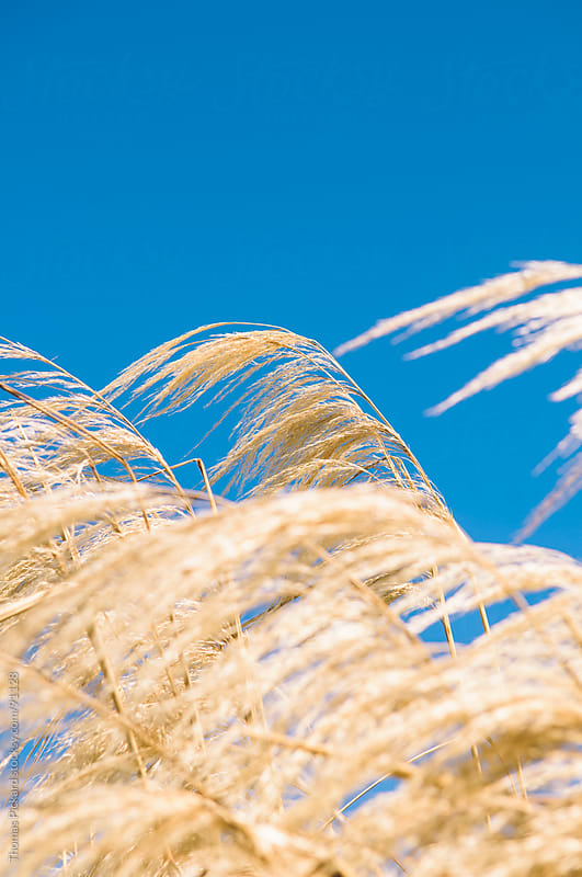 Straw grass, Kaikoura, New Zealand. by Thomas Pickard Photography Ltd. for Stocksy United