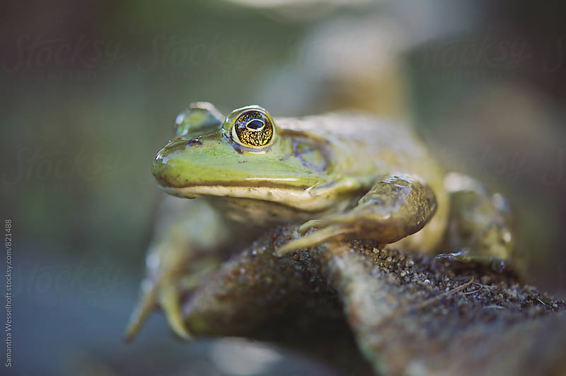 large green frog by Samantha Wesselhoft for Stocksy United