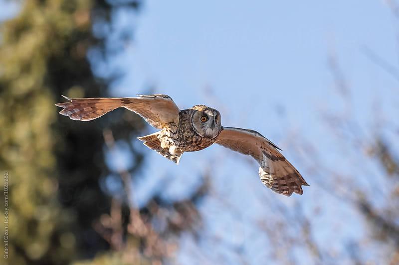 Long-eared owl  by Gabriel Ozon for Stocksy United