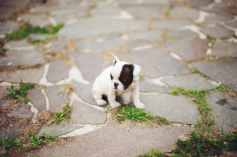 Black and white french bulldog puppy dog exploring a garden by Laura Stolfi for Stocksy United