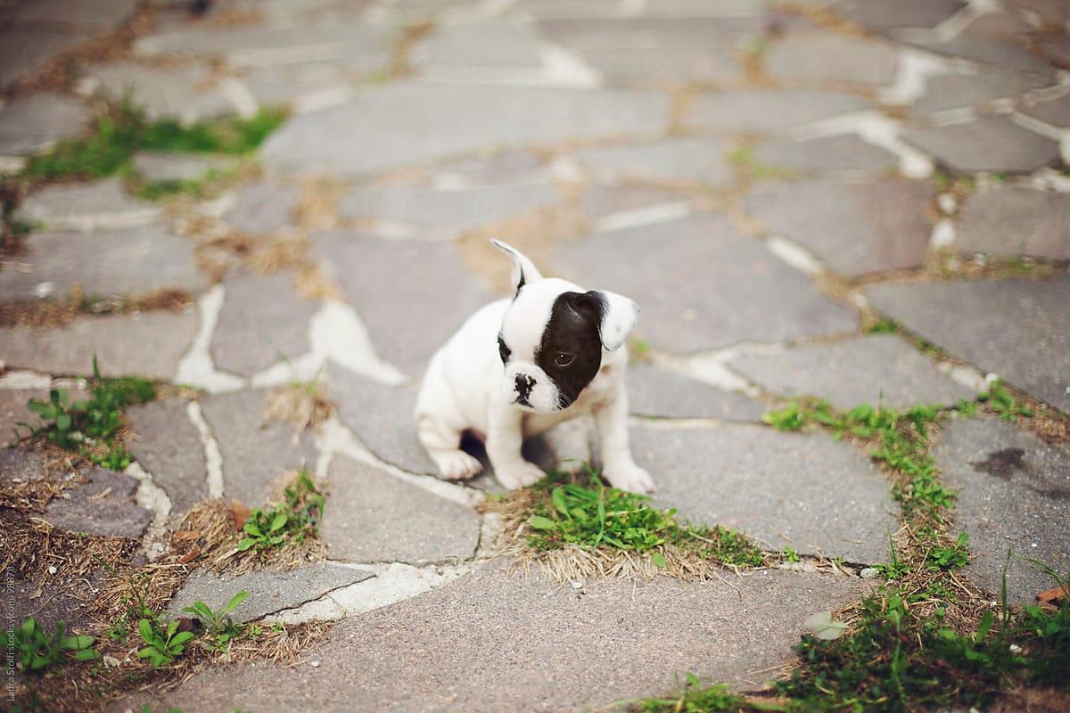 black and white french bulldog puppy dog exploring a garden