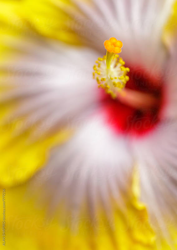 Yellow Hibiscus macro by alan shapiro for Stocksy United