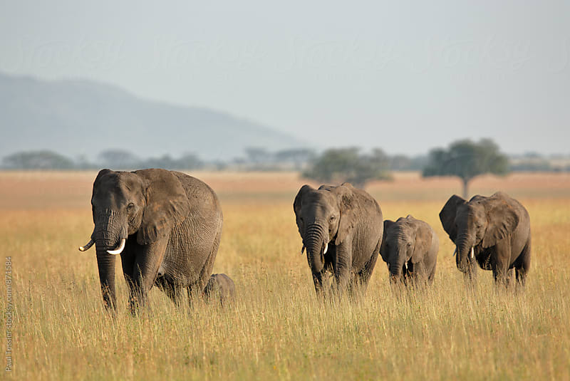 African Elephants by Paul Tessier for Stocksy United