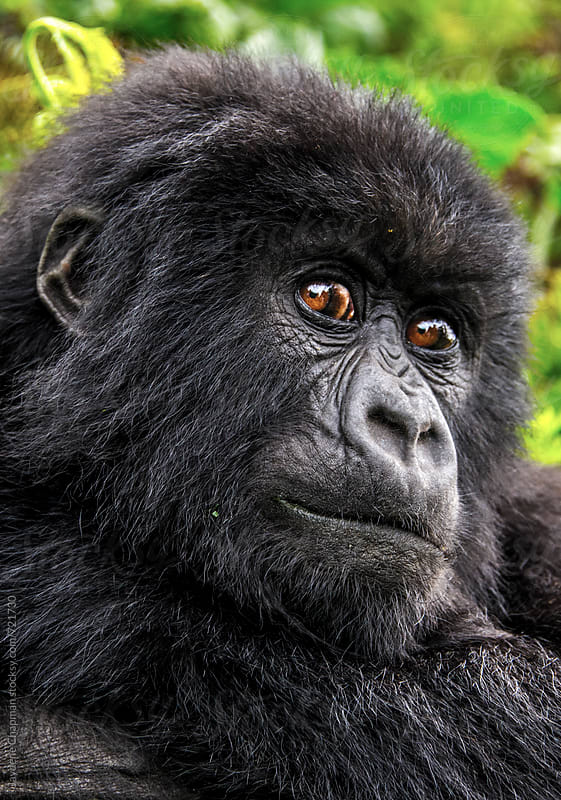 Gorilla in a National park, Rwanda, Africa by Jaydene Chapman for Stocksy United