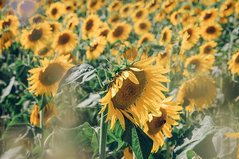 Sunflowers by Hung Quach for Stocksy United