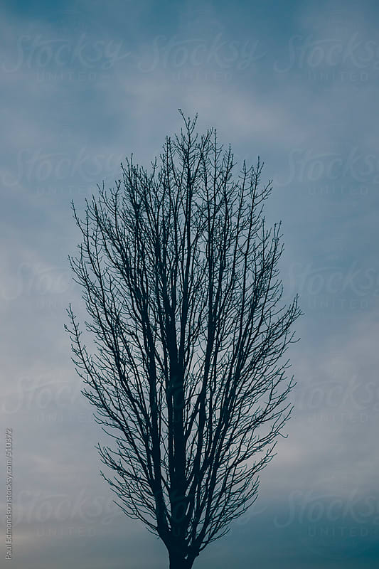 Silhouette of bare maple tree in winter by Paul Edmondson for Stocksy United