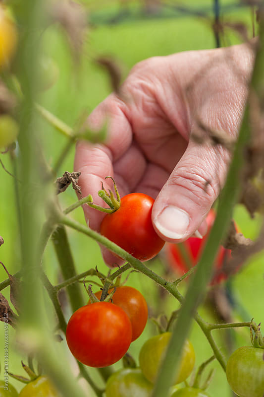 Picking cherry tomatoes from backyard garden by David Smart for Stocksy United