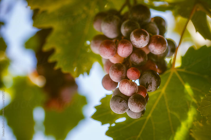 Grapes Hanging from the Vine by Helen Sotiriadis for Stocksy United