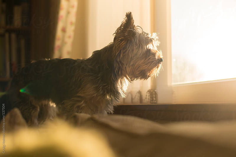 A Yorkshire Terrier looking through a sunny window by Craig Holmes for Stocksy United