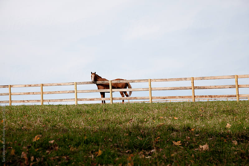Chestnut Horse Looking over Fence by Sari Wynne Ruff for Stocksy United