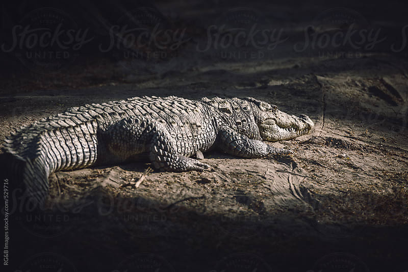 crocodile sitting on the ground in the sunlight by RG&B Images for Stocksy United