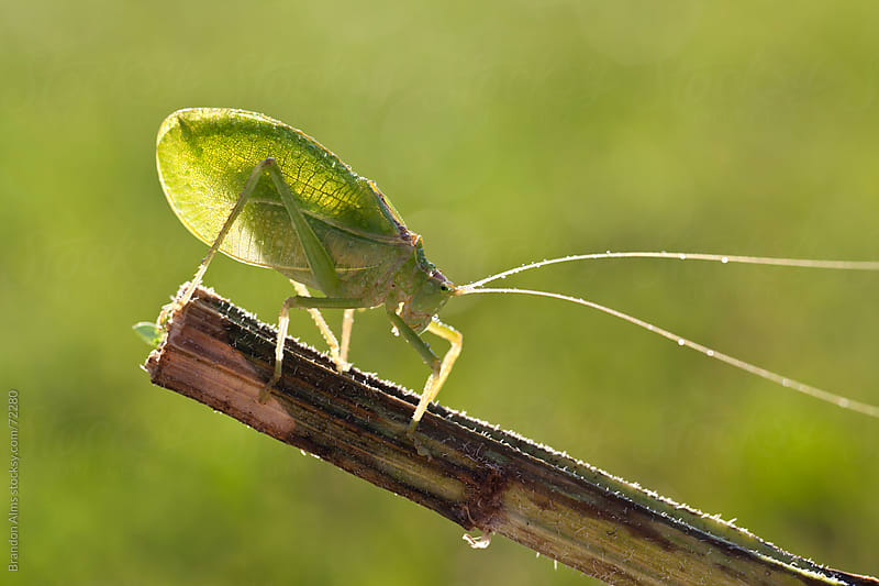 Dew Covered Katydid Macro Backlit by the Sun by Brandon Alms for Stocksy United