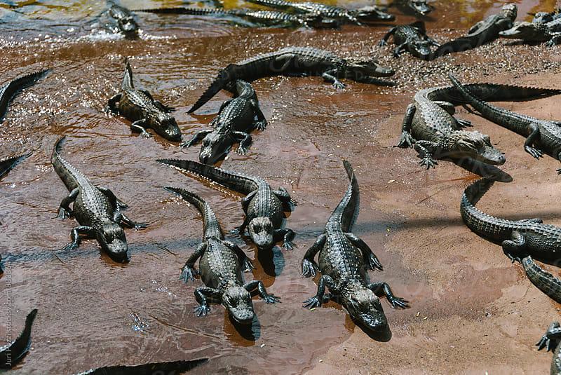 alligator nursery in Florida Evergalde by Juri Pozzi for Stocksy United