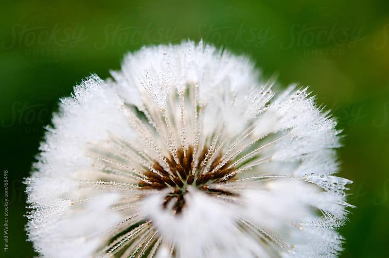 Dandelion seed by Harald Walker for Stocksy United