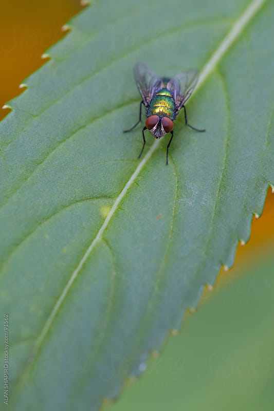 A fly on a leaf by ALAN SHAPIRO for Stocksy United