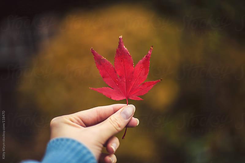 Acer leaf by Kitty Kleyn for Stocksy United
