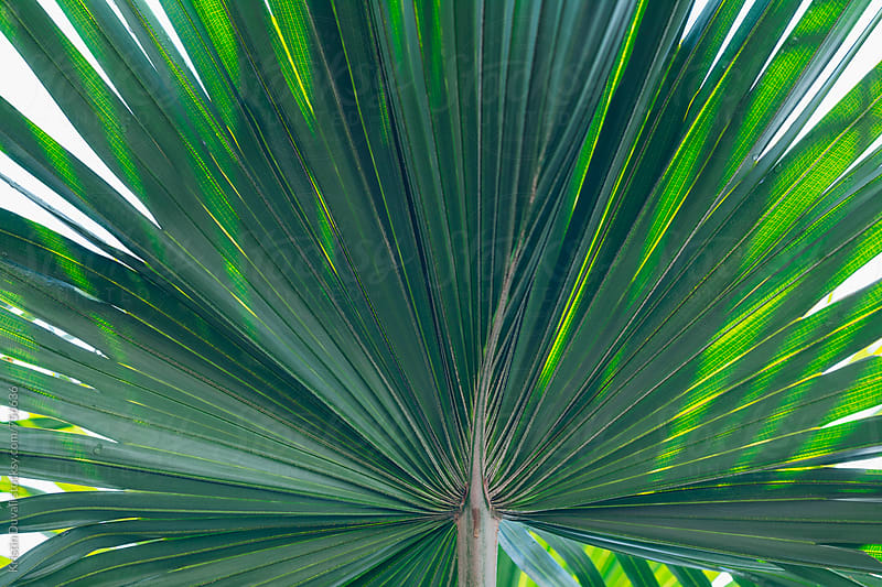 Palm frond from behind by Kristin Duvall for Stocksy United