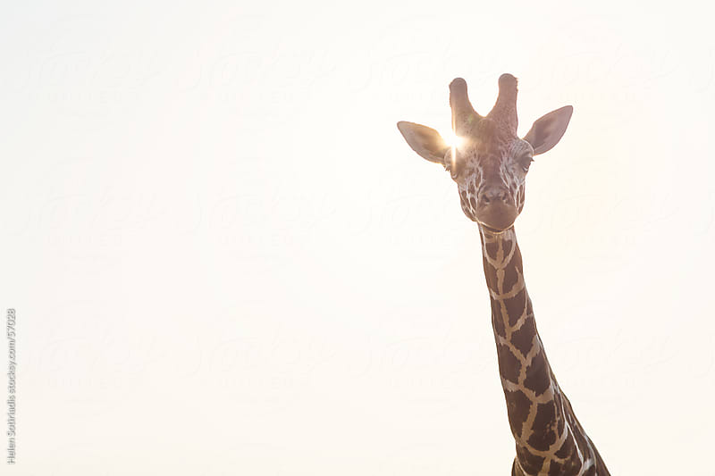 Giraffe in the Sun by Helen Sotiriadis for Stocksy United