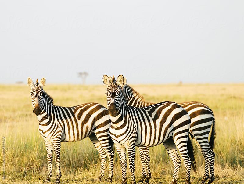 Zebra Trio by Agencia for Stocksy United