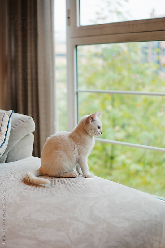Lonely young white cat at home by Lucas Ottone for Stocksy United
