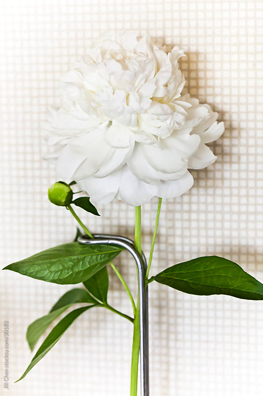 Kitchen Peony by Jill Chen for Stocksy United