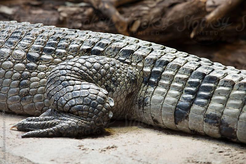 Philippine Crocodile by Alex Hibbert for Stocksy United
