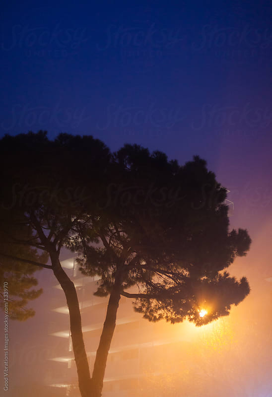 Pine in the Fog by Good Vibrations Images for Stocksy United