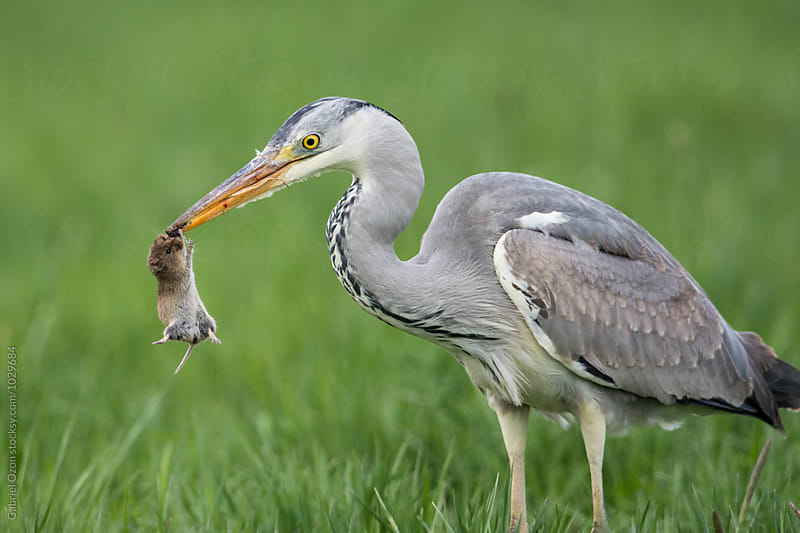 Grey heron with mouse by Gabriel Ozon for Stocksy United