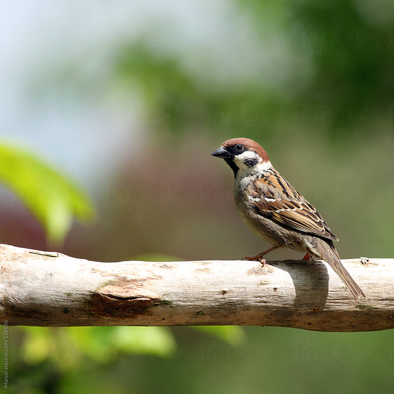 Eurasian Tree Sparrow, perching on a branch by Marcel for Stocksy United