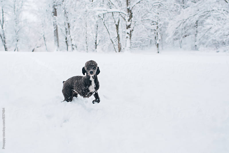 Three leg poodle standing in snow by Preappy for Stocksy United
