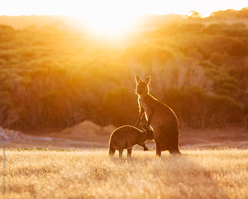 Kangaroo and Joey by Cameron Zegers for Stocksy United