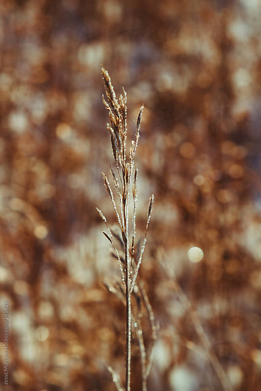 Michigan winter grass by Jesse Morrow for Stocksy United