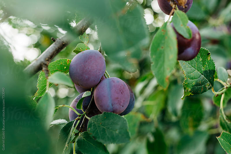 Ripe plums on a tree by Gabriel (Gabi) Bucataru for Stocksy United