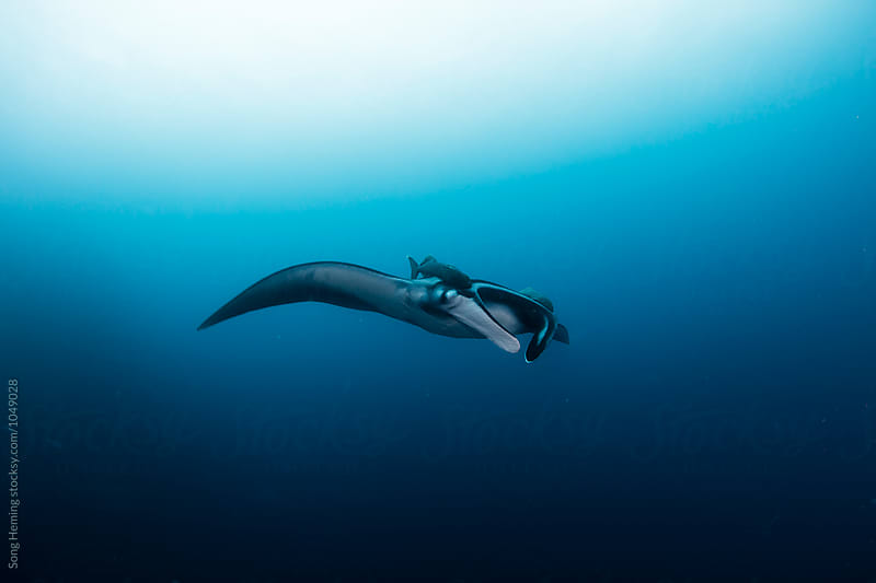 A  Manta Ray swimming with two Remora fishes in the blue water of the ocean by Song Heming for Stocksy United