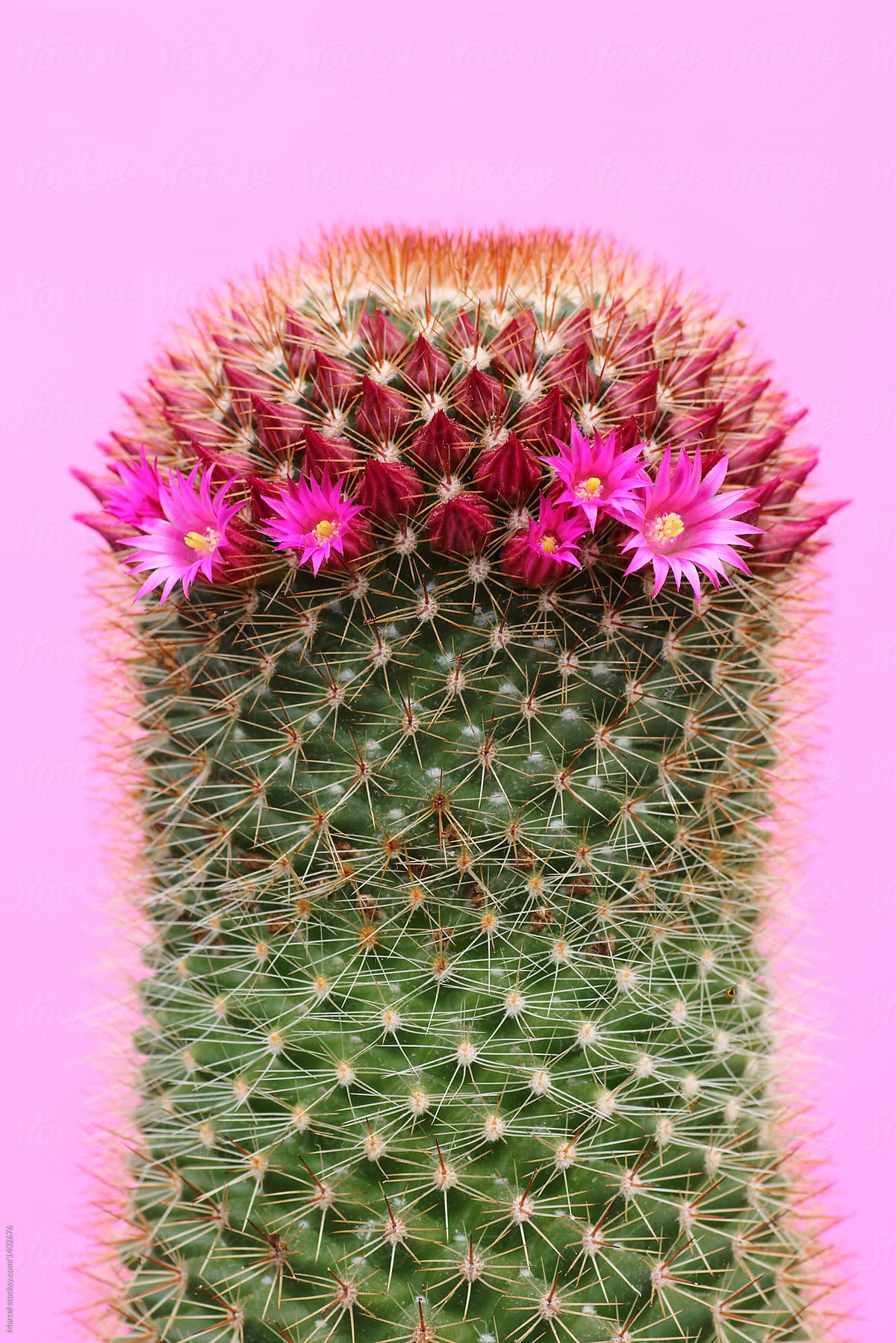 Pink Flowers On Tall Green Cactus Stocksy United